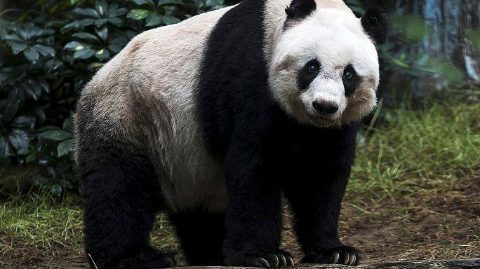 Китаец с трудом вырвался из объятий панды