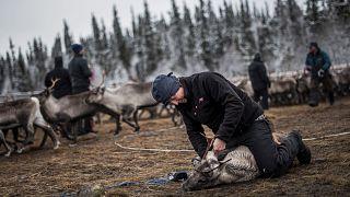 Image: A Sami man labels a reindeer calf near the village of Dikanaess, Swe