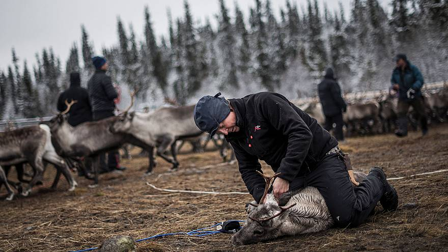 Image: A Sami man labels a reindeer calf near the village of Dikanaess, Swe