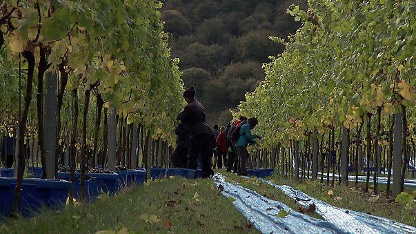 Cambio climático: los viñedos ingleses sacan partido