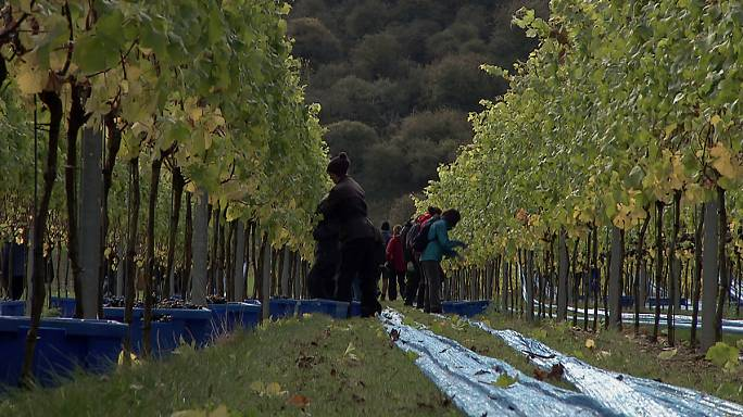 Climate change is good news for England's wine industry
