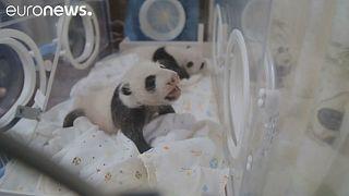 Panda-Zwillinge zum ersten Mal wieder vereint