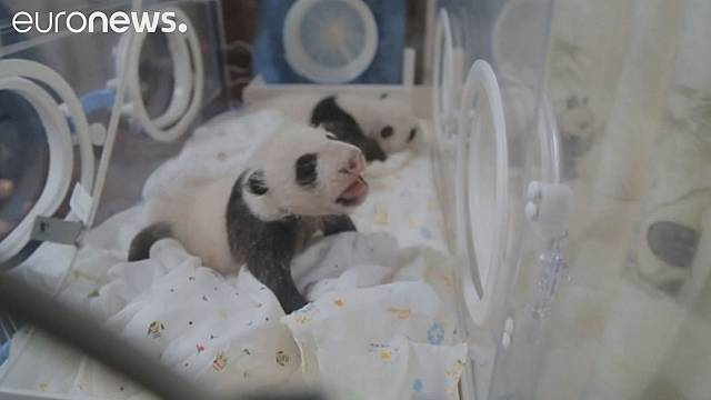 Twin pandas meet each other for first time in Shanghai