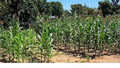 Zimbabwe : face à la sécheresse, l'agriculture passe par la science