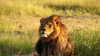 Zimbabwe : un chasseur complice de la mort du lion Cecil relaxé