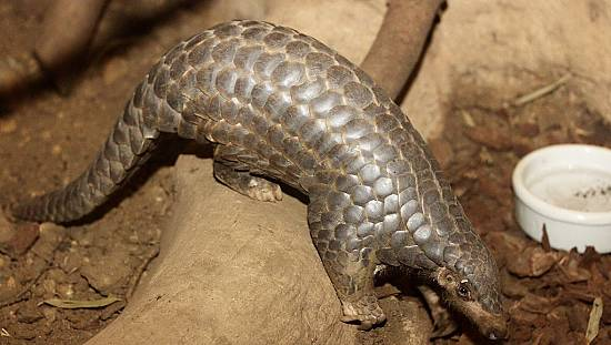 Vitenam: Fight against the trafficking of pangolins [No Comment]