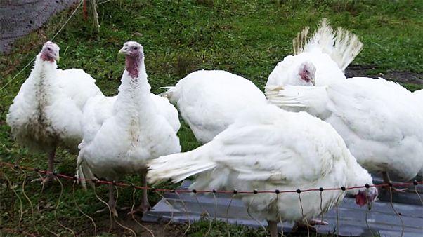Risk of bird flu rockets in parts of Europe