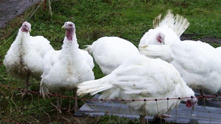 مخاوف من تفشي إنفلونزا الطيور في أوروبا