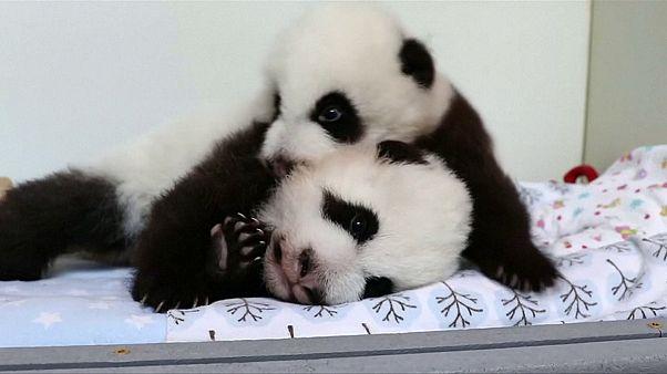 Se busca nombre para dos oseznos panda