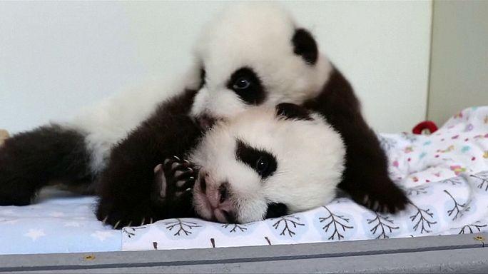 Nevet keresnek a pandaikreknek