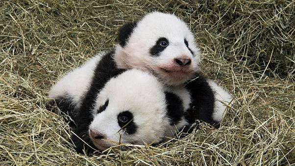 """توأم الباندا الذي شهد النور في حظيرة فيينا قبل 100 يوم أصبح لكل منهما اسم: """"فو بان"""" و""""فو فينغ"""""""