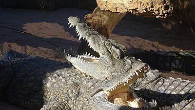 "Les crocodiles ""porte-bonheur"" de Bakau (Gambie)"