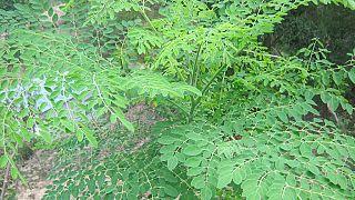 """La culture des feuilles de Moringa, l'""""or vert"""" du Niger"""