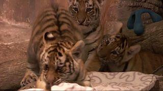 Τιγράκια Σιβηρίας στον ζωολογικό κήπο του Μιλγουόκι
