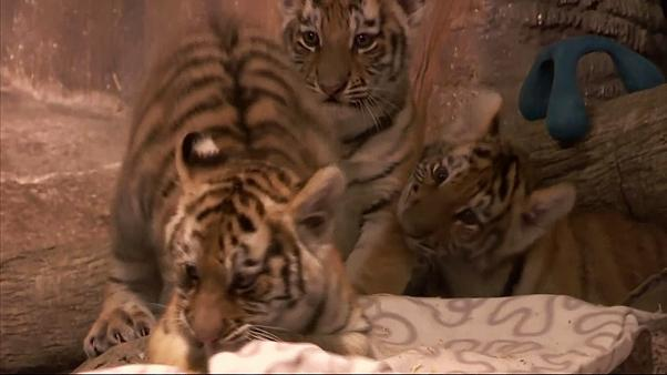 Szibériai tigriskölykök mutatkoztak be egy állatkertben
