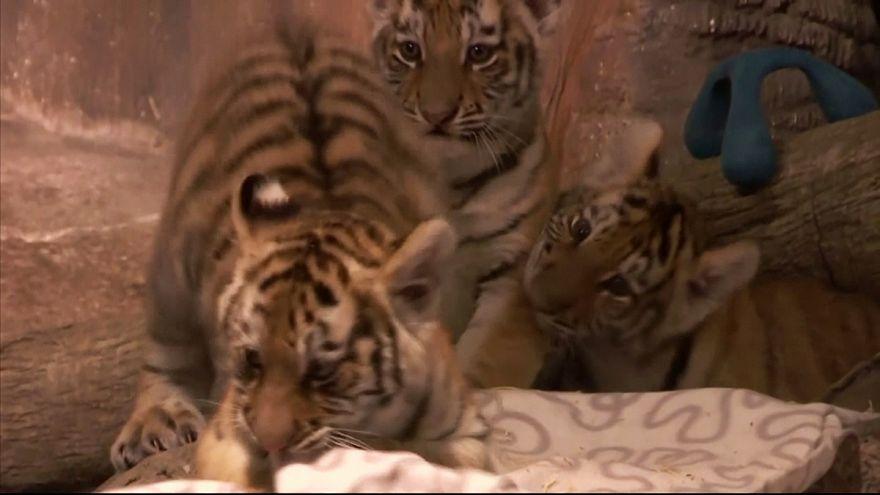 Tre cuccioli di tigre del Namur allo zoo di Milwaukee