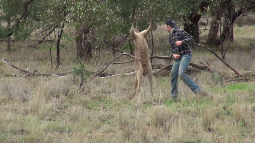 Viral video of man punching kangaroo is more than meets the eye