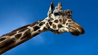 La girafe menacée d'extinction ?