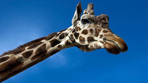 IUCN preocupado com a redução do número de girafas na Terra
