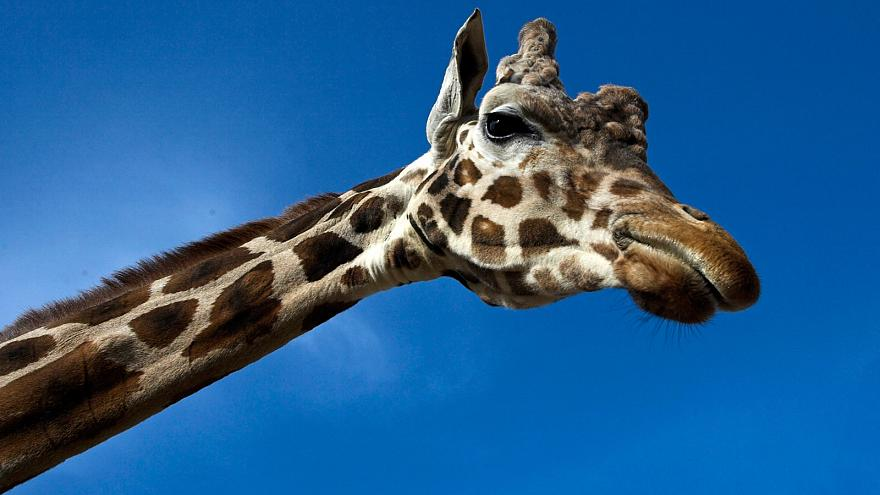 "Giraffes ""vulnerable to extinction"""