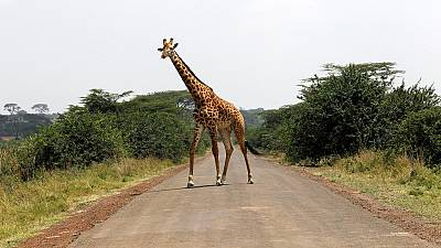 Giraffes edge closer towards extinction