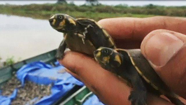 100 mil tartarugas bebés libertadas na Bolívia