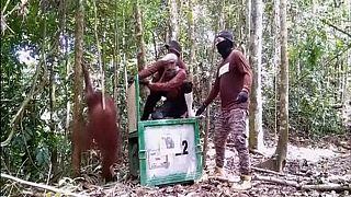 رها کردن اورانگوتان ها در جنگل برای حفظ نسل آنها