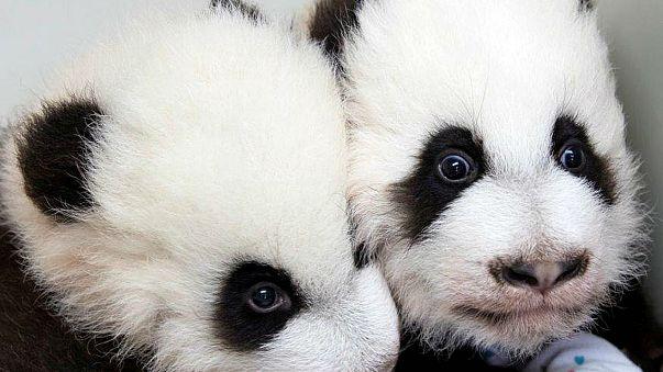 Primera aparición pública de dos bebés de oso panda gigante en China