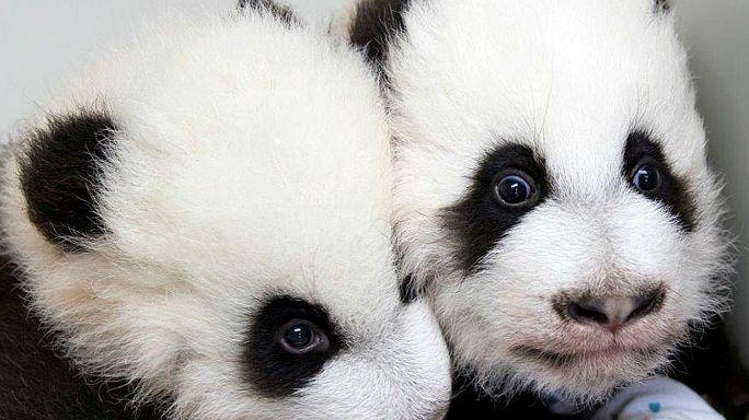 İkiz pandalar ziyaretçilerini bekliyor