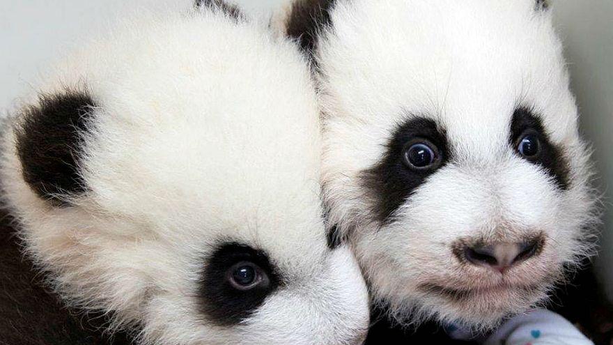 Панды-близнецы из Гуанчжоу впервые появились на публике
