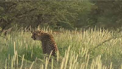 World cheetahs could be sprinting towards extinction
