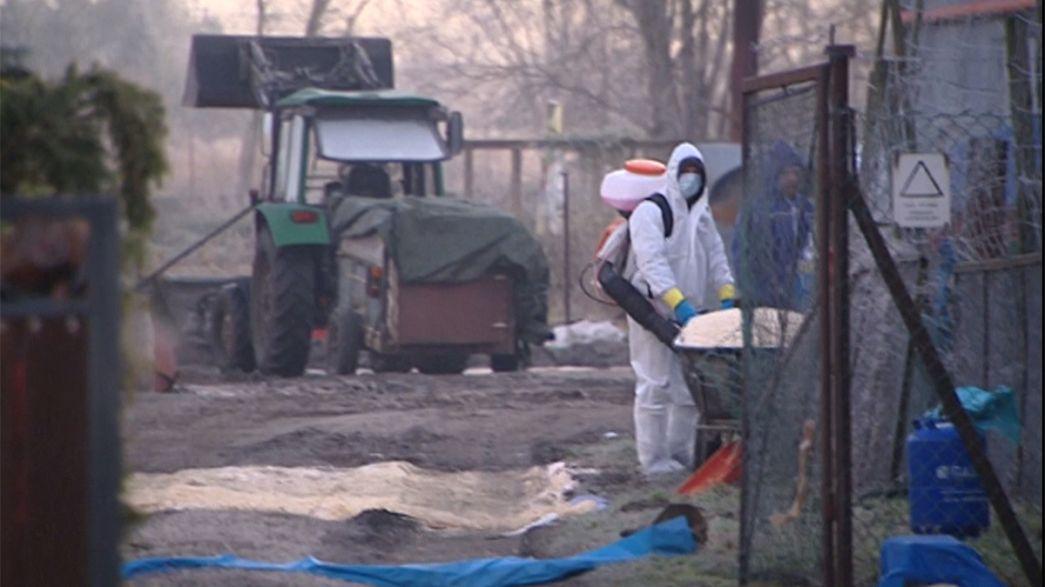 ظهور حالات انفلونزا الطيور في بولندا