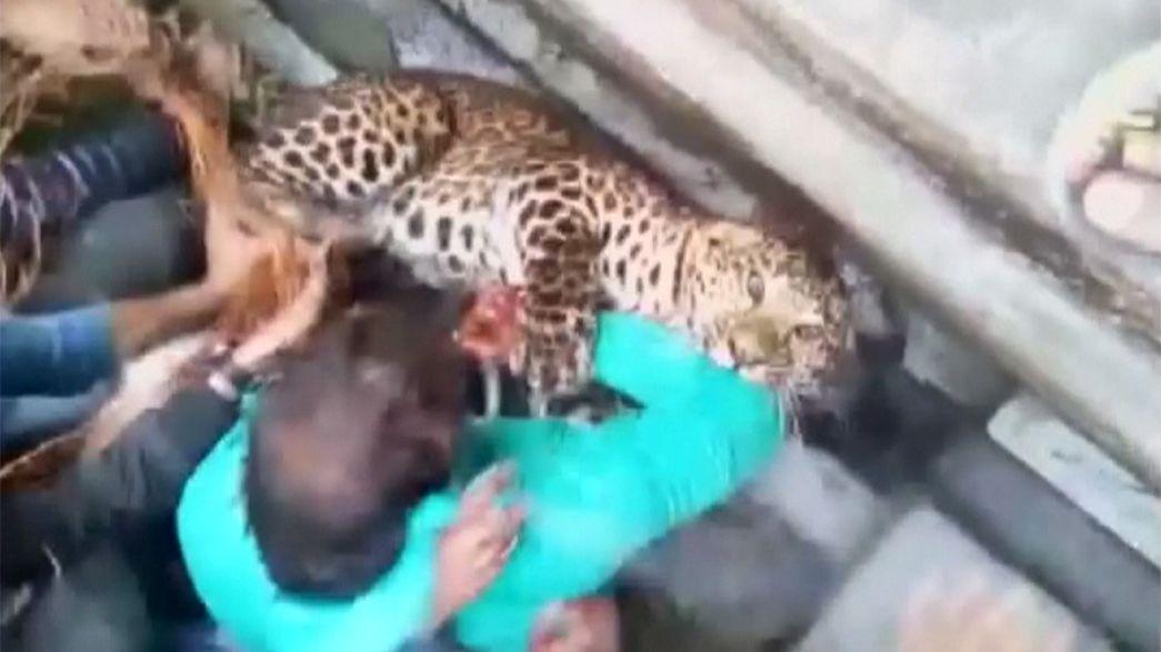Wild leopard savages man in India