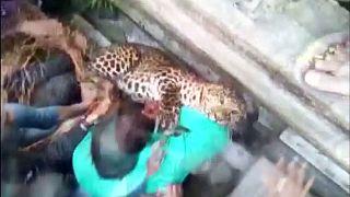 Περιπετειώδης προσπάθεια ακινητοποίησης λεοπάρδαλης