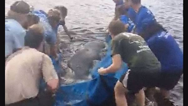 VIDEO - Seekuh in Florida gerettet