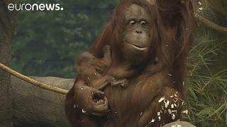Orangotango bebé faz as delícias do público do Zoo de Brookfield