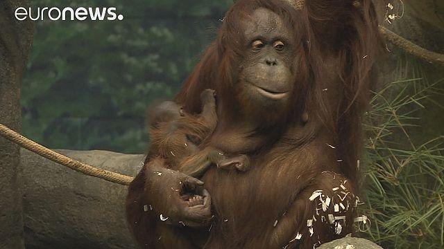 Bebek orangutan ilk kez ziyaretçilerle buluştu