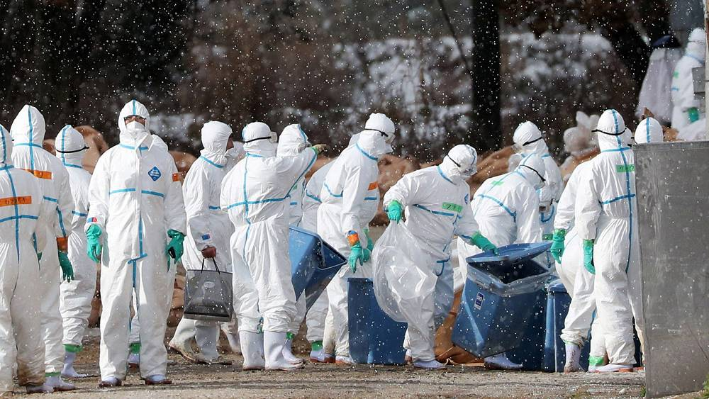 Картинки по запросу 800,000 birds to be culled in France after bird flu outbreak