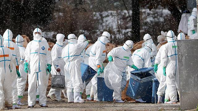 800.000 aves serán sacrificadas en Francia para detener la gripe aviar