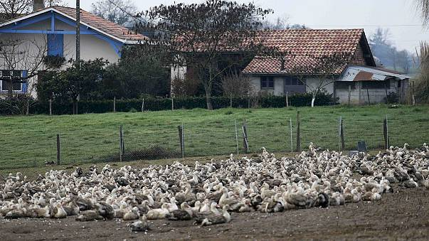 France culls a million ducks and geese