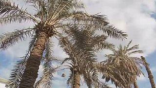 Égypte: le palmier comme alternative au bois importé