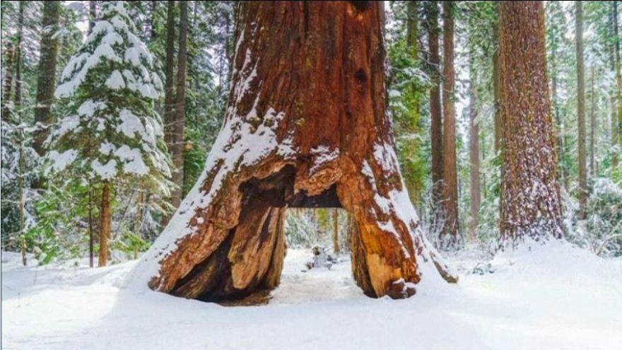 Iconic giant Sequoia tree collapses in California