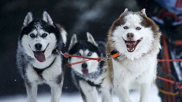 France: dog sled racers set off on snow-capped Alps challenge