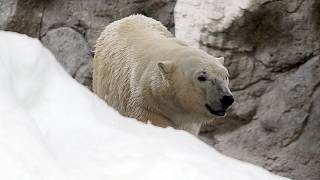 Watch: Polar bear cam shows Arctic plight