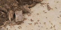 Queensland battles against an invasion of red fire ants