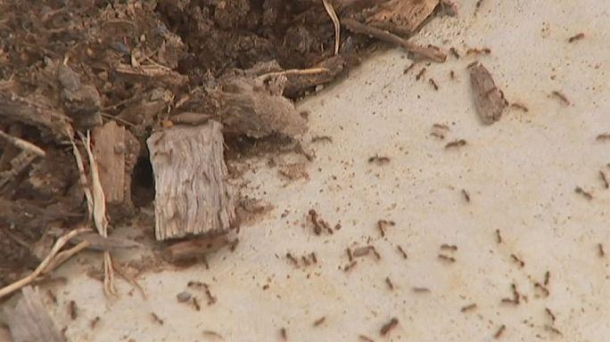 L'Australie face à la menace des fourmis de feu