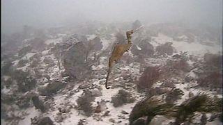 Рубиновые морские драконы позируют на камеру