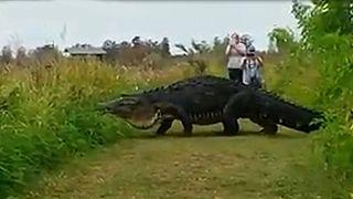 VIDEO: Riesiger Alligator überquert Straße in Florida