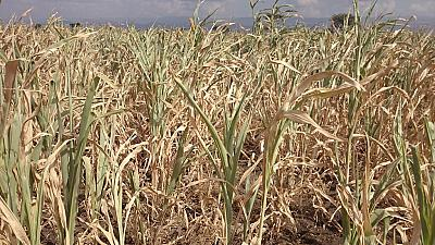New drought risks in Ethiopia may jeopardize recovery efforts -FAO