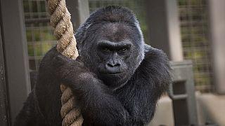 Les singes sont menacés d'extinction